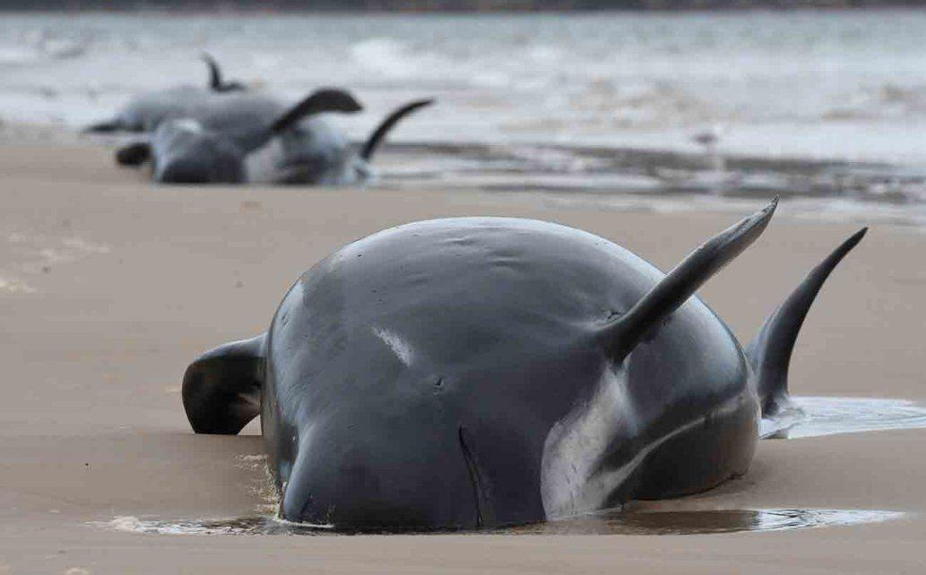 Más de 300 ballenas mueren al quedar varadas en Australia