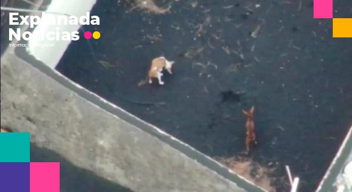 Perritos atrapados en la de Isla Palma por erupción de volcán serán rescatados con drones
